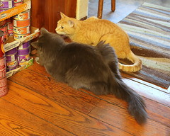 there's a mouse in the house (judecat ( settling in for the winter)) Tags: cats felines catshunting longhairedgreycat redtabby vinny floydd