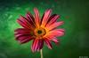 African Daisy (Ken Mickel) Tags: africandaisy floral flower flowers flowersplants plants closeup daisy flora nature photography