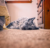 to sleep, to dream (18/365) (severalsnakes) Tags: 365 ks2 m3528 missouri pentax rooster saraspaedy sedalia cattledog dalmatian dog labrador manual manualfocus mixed mutt old pet rest sleep spotted stitch pano panorama microsoft ice