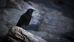 The Watcher (michael_riches) Tags: bird crow raven beach beak wood log stone rock shadows feathers animal oak bay vancouverisland victoriabc oakbay canon canon750d