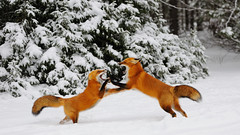 Clash in the snow (Hanzy2012) Tags: algonquinpark canada wildlife ontario nikond90 80200mmf28dafs redfox vulpesvulpes nature wild