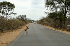 Impala-Antilopen (RolandD.) Tags: südafrika southafrica krugernationalpark animals 35049animals tier tiere animal