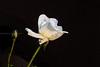 0W6A9375 (Liaqat Ali Vance) Tags: flower white rose google nature lahore liaqat ali vance photography punjab pakistan colors