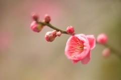 Little Pink (somazeon) Tags: japan m43 lumix panasonic 日本 鳥取 tottori flower 25mm macro nokton f095 voigtlander