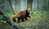 Red Panda, Morning Mist (larry fa) Tags: panda cincinnatizoo morning mist fog bokeh nikon d800 180mm