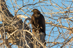 December 26, 2016 - A Golden Eagle at the Rocky Mountain Arsenal. (Tony's Takes)