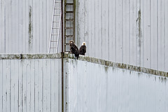 'Eagles and Ladders' (Canadapt) Tags: eagle baldeagle building ladders siding graphic princerupert rushbrook bc canadapt