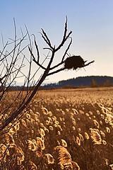Field House (gdenuzzio12) Tags: goldreeds mass plumisland golden home field bird nest