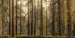 The Pillars of Our Planet (Trees) (Rohit KC Photography) Tags: pillars trees woods forest branches leaves park warm edited canon ca america canon5dmarkii lightroom light yellow orange dry tall cropped landscape nature outdoor outdoors hiking usa unite states cloudyday
