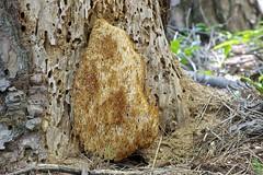 Artomyces pyxidatus (hideyukimatsui) Tags: artomycespyxidatus russulales auriscalpiaceae artomyces fungus fungi mushrooms mushroom nakayamatouge hokutocity yamanashipref nature