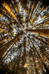 From The Ground, Up To The Bottom (Daniele Pauletto) Tags: woods bosco foresta nature trees alberi pines winter dpphotography lensflare italy