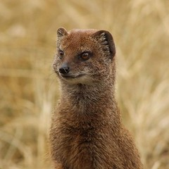 IMG_20161218_185624 (Mike Belford) Tags: wildlife mongoose photography