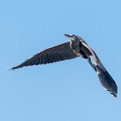 Great Blue Heron in Flight (Jayaretea Snaps) Tags: bif bird birdinflight farmingtonbay fly greatblueheron heron nature waterfowl wildlife