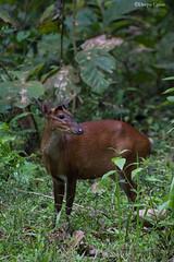 Indian Muntjac.Female (Deepu Cyriac) Tags: animals palakkad parambikulam parambikulamwls parambikulamwildlifesanctuary parambikulamtr parambikulamtigerreserve indianforest deer barkingdeer indianmuntjac kerala travel