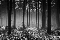 Mono Forest (Eric Spies) Tags: reichswald forest wald winter schnee mono monochrome monochrom schwarzweiss blackwhite bw sw bäume trees januar january kalt cold frost fujifilm xt10 fujinon xc1650 xc kleve cleve niederrhein nrw nordrheinwestfalen deutschland germany materborn snow landschaft landscape tiefe depth