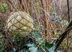 Old net float in a tree. (rustyruth1959) Tags: nikon nikond3200 sigma1020mm uk cornwall kernow padstow hawkerscove float net fishingfloat fishing netting shrub leaf leaves branch outdoor bush alloy metal round tree moss green brown knots decay explored explore inexplore