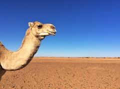 Dromadaire dans les dunes (Des Goûts et des Couleurs) Tags: animaux animal maroc sahara morocco desert mhamid orange bleu blue ciel dune dunes liberté calme silence isolement dromadaires caravanes bédouins aventure