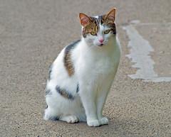 Pussy Cat (eric robb niven) Tags: ericrobbniven scotland cat dunkeld walking animal