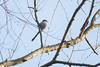 Codibugnolo. Aegithalos Caudatus. (omar.flumignan) Tags: codibugnolo aegithaloscaudatus bird uccello passeriforme avifauna canon 7d ef100400f4556lisusm turriaco fvg friuliveneziagiulia allnaturesparadise ngc flickrsbest