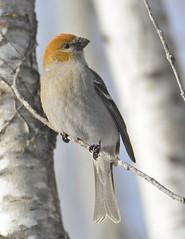 Female Pine Grosbeak (Mark Polson) Tags: bird animal pine grosbeak sax zim bog mn perched