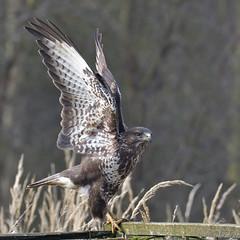Common Buzzard (KHR Images) Tags: commonbuzzard buzzard wild bird birdofprey buteobuteo fineshadewoods northamptonshire wildlife nature nikon d500 kevinrobson khrimages