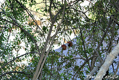 Pomegranate3 (tinlight7) Tags: pomegranate tree wadinakhar jebelshams oman fruit taxonomy:kingdom=plantae plantae taxonomy:clade=tracheophyta tracheophyta taxonomy:phylum=magnoliophyta magnoliophyta taxonomy:class=magnoliopsida magnoliopsida taxonomy:order=myrtales myrtales taxonomy:family=lythraceae lythraceae taxonomy:genus=punica punica taxonomy:species=granatum taxonomy:binomial=punicagranatum granatapfel רימוןמצוי magraner punicagranatum granadacordelina tsapyan delima romãzeira гранатобыкновенный гранатзвычайны 安石榴 nocuanazehacastilla انار taxonomy:common=granatapfel taxonomy:common=רימוןמצוי taxonomy:common=magraner taxonomy:common=pomegranate taxonomy:common=granadacordelina taxonomy:common=tsapyan taxonomy:common=delima taxonomy:common=romãzeira taxonomy:common=гранатобыкновенный taxonomy:common=гранатзвычайны taxonomy:common=安石榴 taxonomy:common=nocuanazehacastilla taxonomy:common=انار