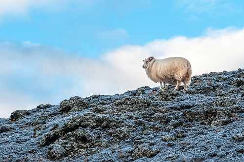 Iceland - Local tough as nails sheep