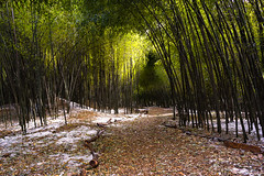 Bamboo Forest (Dalliance with Light (Andy Farmer)) Tags: nikon28mmf28ais bamboo nature landscape rutgersgardens trail intimatelandscape eastbrunswick newjersey unitedstates us