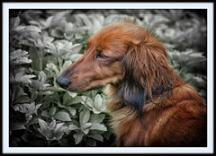 IMG_6676 - Sissi (Arne J Dahl) Tags: dog animal canon outdoor depthoffield frame longhaireddachshund gravhund photoborder canon5dmark2 snapseed langhåretgravhund