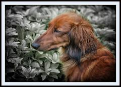 IMG_6676 - Sissi (Arne J Dahl) Tags: dog animal canon outdoor depthoffield frame longhaireddachshund gravhund photoborder canon5dmark2 snapseed langhretgravhund