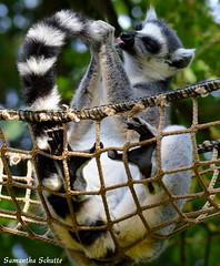 Ring-tailed lemur, Dierenpark Amersfoort (Samantha Schutte) Tags: animals zoo nikon dieren amersfoort dierentuin dierenparkamersfoort d3200