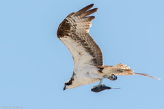 20150813-DSC_8181 (pixSullivan) Tags: bird nature claw falcon hunter prey feed delaware predator hunt birdofprey