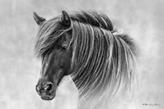 The Horses of Iceland (Bradley Grove) Tags: wild portrait horse texture monochrome animal composite hair blackwhite iceland manipulation 354 bradgrove
