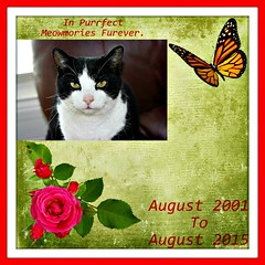 Charles Memorial 004 (Chrisser) Tags: cats ontario canada nature animal animals cat ribbet ourcatcompanions crazyaboutcats kissablekat kissablekats bestofcats kissablekitties kissablekitty loonapix canoneosrebelt1i bicolouredshorthaired canonefs60mmf28macrousmprimelens