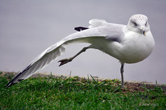 stretch (batty9a) Tags: seagulls bird nature water birds nikon outdoor gull nikkor waterfowl ringbilledgull chautauqualake d5200 nikonflickraward giveusyourbestshot blinkagain nikond5200 522015week39