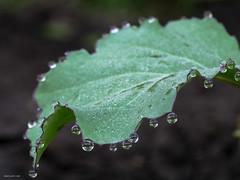 Broccoli leaf with dew