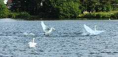 Mute Swans(Cygnus olor) (jdathebowler Thanks for 4.5 Million + views.) Tags: nature swan waterfowl muteswans yeadontarn cygnusolor aver anseriformes greatphotographers aquaticbird thebeautyofnature