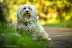 Farben, Sonne & ein Hund (buchsammy) Tags: autumn dog pet color green animal yellow germany de deutschland sony herbst jahreszeit september hund gelb ralf bichon grn mika farbe haustier tier havanese badenwrttemberg 2015 weis sitz brav bitzer donaueschingen langhaar apsc hfingen havaneser havanais buchsammy sonyalpha6000 sonysel1670mmf4zaoss