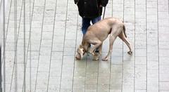 on the track (erix!) Tags: dog chien animal legs hond hund weimaraner sniffing haustier bloodhound beine wetpavement schnffeln dhond schweishund hundundherr scheishund