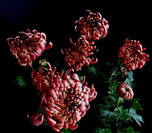 Crisantem. Crisantemo. Chrysanthemum