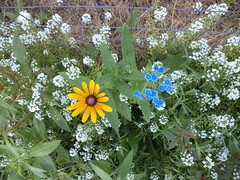Black-Eyed Susan and Chinese Forget Me Nots (Brandon Blahnik) Tags: white flower me garden susan sweet chinese tall forget alyssum blackeyed