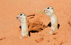 Spotted Ground Squirrel (Xerospermophilus spilosoma) (George Wilkinson) Tags: arizona monument valley xerospermophilus