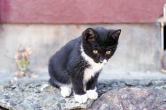 20151101-04 (GenJapan1986) Tags: 2015 fujifilmfujicolorsuperiaxtra400 ネコ 動物 宮城県 田代島 石巻市 離島 フィルム film nikonnewfm2 miyagi tashirojima island animal cat