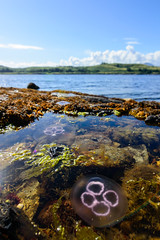 We may be trapped (Aresio) Tags: sea skye animals scotland rocks jellyfish medusae jackburton