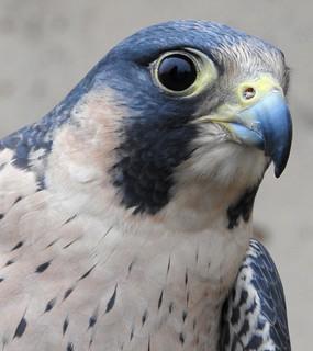 Nelly the Peregrine Falcon
