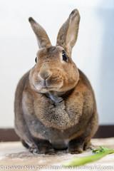 IMG_4826-1 (Rabbit's Album) Tags: pet rabbit bunny animals  choco   minirex    canonx7i x7i sigma1750mmf28exdcoshsmcanon