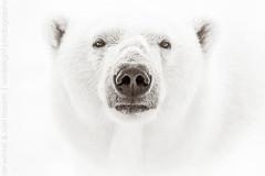 White on White (winterlight photography) Tags: arcticocean caniformia eisbär europa europe european noorwegen noorweë nordaustlandet noreg norge northerneurope noruega norvege norvegia norway norwegen norwegian polarbear scandinavia scandinavian spitsbergen svalbard ursidae ursusmaritimus animal bear beer bjorne bär carnivore fauna ice ijsbeer isbjorn mammal marinemammal nanook nanuq nature orso orsobianco orsopolare oso osoblanco osopolar ours oursblanc ourspolaire poolbeer urso ysbeer winterlightphotography karindewinter jovanrossem dewintervanrossem white onwhite