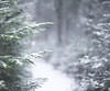 Snowy Trail to the Beach - 7DWF! (jm atkinson) Tags: 7dwf snow balsam pine trail maine