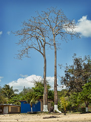 Trees with sockets (Giorgio Verdiani) Tags: panama panamacity america centralamerica americacentrale tree albero trees alberi paint vernice white bianca sockets calzini socket calzino olympus evolt e500 8mp digital digitale slr fourthirds quattroterzi zuiko 40150mm zoom
