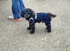 Yoyogi Park | Tokyo (-Faisal Aljunied-) Tags: dogwearsspectacles👓 tokyo yoyogipark iphone7plus dog streetphotography faisalaljunied